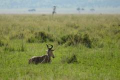 Hartebeest || Serengeti National Park, Tanzania