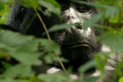 Kahungye Silverback Gorilla || Bwindi Impenetrable National Park, Uganda