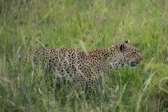 Leopard Watch || Serengeti National Park, Tanzania