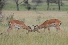 Male Impala Sparing || Serengeti National Park, Tanzania