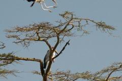 Marabou Stork || Serengeti National Park, Tanzania