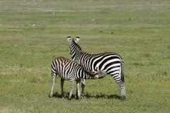 Nursing Zebra || Ngorongoro Crater, Tanzania