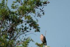Ring-necked Dove || Mgahinga Gorilla National Park, Uganda
