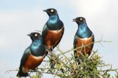 Superb Starling || Serengeti National Park, Tanzania