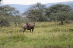 Topi || Serengeti National Park, Tanzania
