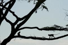 Vervet Monkeys || Serengeti National Park, Tanzania