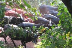 Village Cattle || Nkuringo, Uganda
