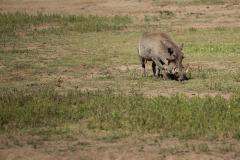 Warthog || Ngorongoro Crater, Tanzania