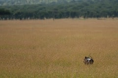 Warthog || Serengeti National Park, Tanzania