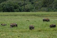 Warthogs in Ngurdoto Crater || Arusha National Park, Tanzania