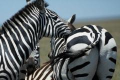Zebras    Serengeti National Park, Tanzania