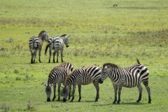 Zebras of the Serengeti || Serengeti National Park, Tanzania
