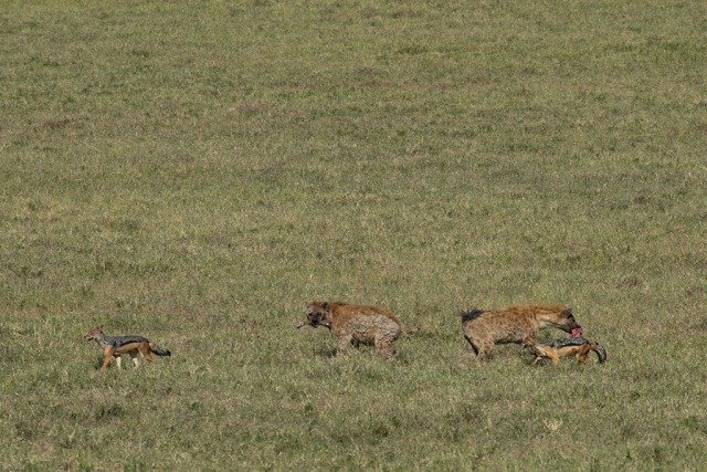 Black-backed Jackal and Spotted Hyena