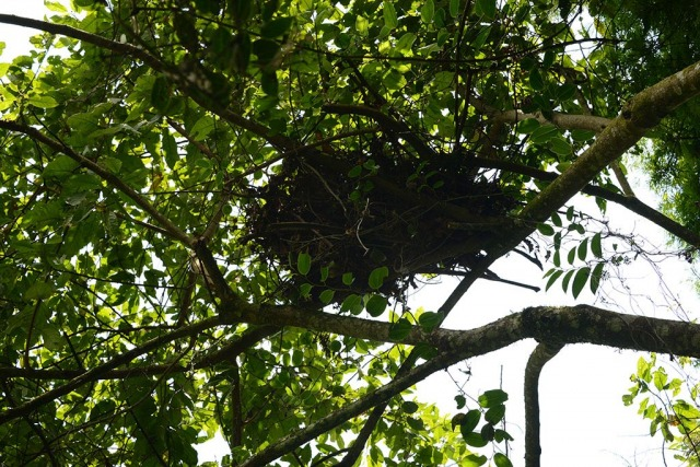Chimpanzee Nest