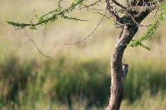 Nubian Woodpecker
