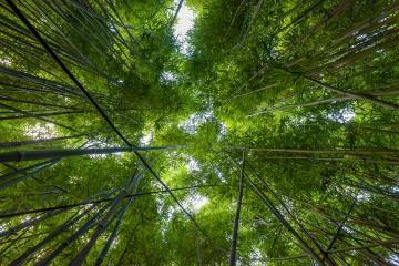 Bamboo Canopy || Maui, Hawaii