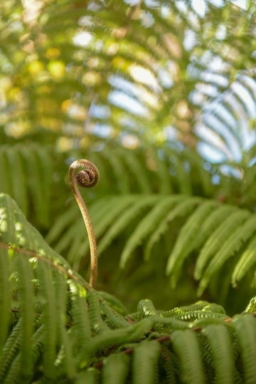 Young Fern Sprout || Kōke'e State Park