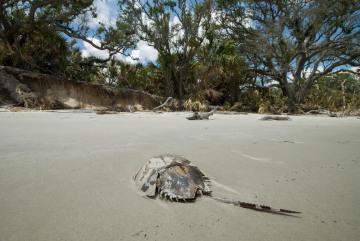 Horseshoe Crab on Blackbeard Island || Georgia