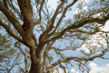 Live Oak on Blackbeard Island || Georgia