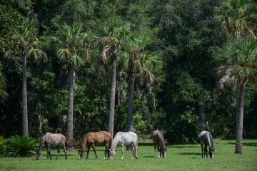 Wild Horses of Cumberland Island || GA