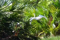 White Pelican on Cumberland Island || GA