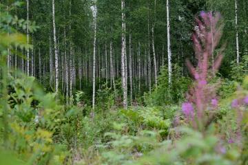 Finnish Taiga || Finland