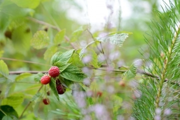 Raspberries in the Wild || Finland