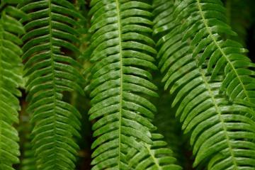 Ferns || Jedediah Smith Redwoods State Park, CA