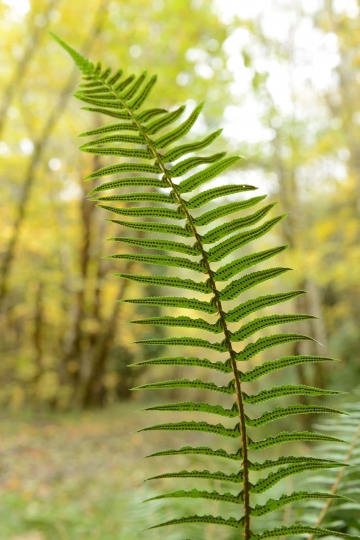 Ferns in Smith River National Recreation Area || California