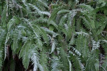 Frozen Ferns || Lake Quinault, WA