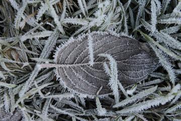 Frozen Leaf || Lake Quinault, WA