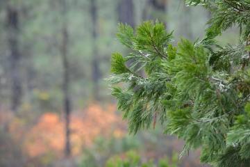 Incense Cedar Foliage at Eight Dollar Mountain Botanical Area || Rogue River-Siskiyou National Forest, Oregon