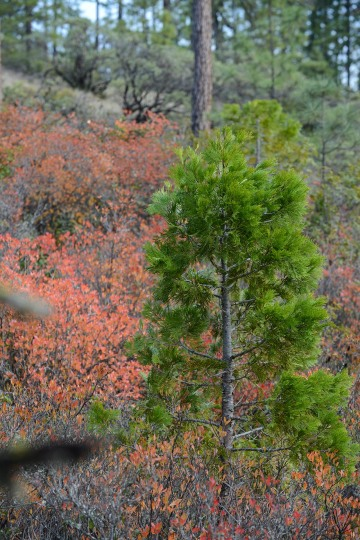 Incense Cedar in Fall at Eight Dollar Mountain Botanical Area || Rogue River-Siskiyou National Forest, Oregon