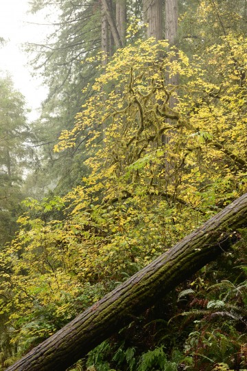 Jedediah Smith Redwoods State Park || California