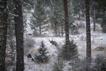 Mule Deer in Snow || Sheldon National Antelope Refuge, Nevada