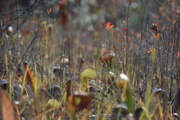 Serpentine Darlingtonia Wetlands at Eight Dollar Mountain Botanical Area || Rogue River-Siskiyou National Forest, Oregon