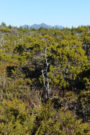 Shorepine Bog Trail || Ucluelet, BC, Canada