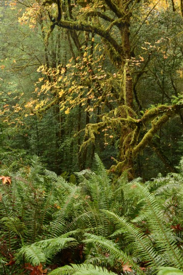 Tall Trees Grove || Redwood National and State Parks, CA
