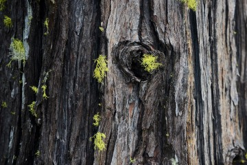 Tree Detail at Eight Dollar Mountain Botanical Area || Rogue River-Siskiyou National Forest, Oregon