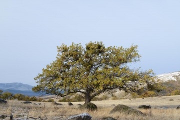 Tree in First Snow || Cascade-Siskiyou National Monument, Oregon