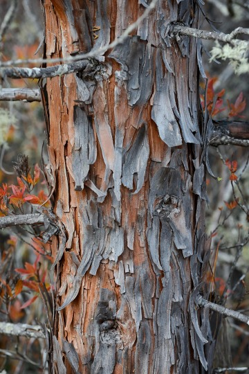 Western Juniper Bark at Eight Dollar Mountain Botanical Area || Rogue River-Siskiyou National Forest, Oregon