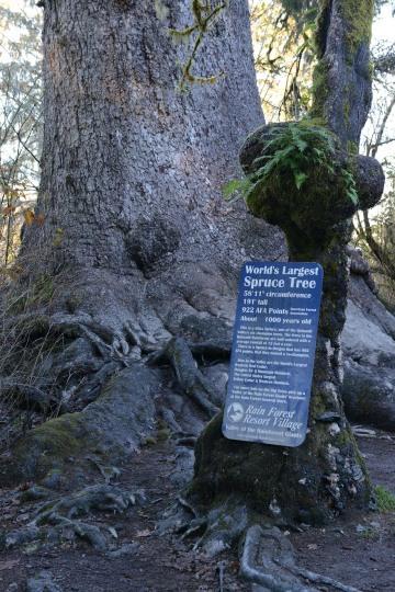 World's Largest Spruce || Quinault Rainforest, Washington