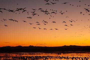 Sunrise Flight || Bosque del Apache NWR