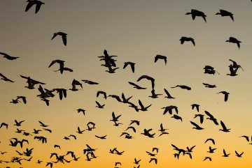 Snow Geese at Sunrise || Bosque del Apache NWR