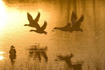 Snow Geese at Dawn || Bosque del Apache NWR