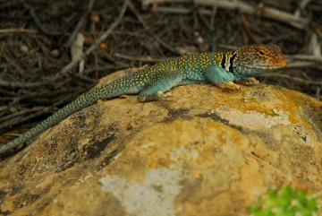 Collared Lizard || Mesa Verde NP, CO