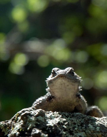 Crevice Spiny Lizard || Gila Wilderness, New Mexico