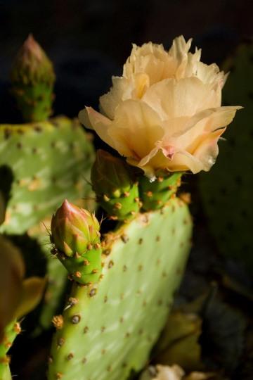 Prickly Pear Blossom || Zion NP