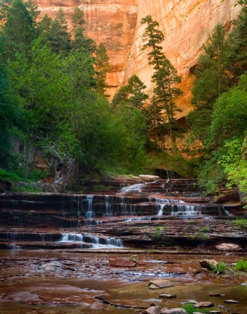 Zion Pine in Canyon || Zion NP