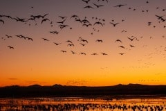 Sunrise Flight || Bosque del Apache NWR